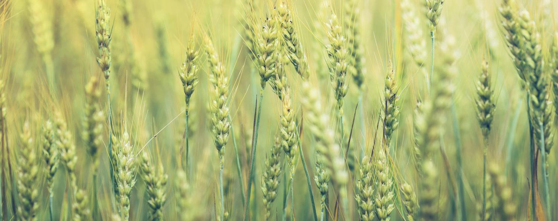 Green-WheatV2